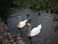 Swans On The Lake In Holyrood Park