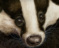 Badger Boldness