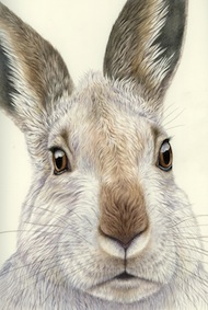 Mountain Hare Moment