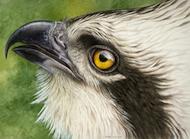 Osprey Observation
