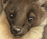 Pine Marten Pause