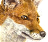 Fox Fascination