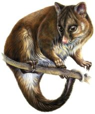 ring-tailed possum - watercolour