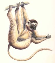 sifaka lemur illustration in watercolour