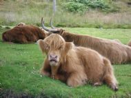 Highland cattle at Durinish