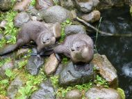 family of otters taken by regular guest Phil
