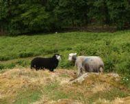 黒と白の羊