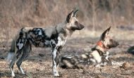 Incus the Painted Dog