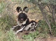 n/a'an ku s� foundation african painted dog conservation