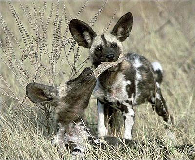 painted wild dogs - mother with pup