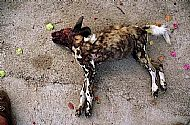 Painted Dog shot by farmer