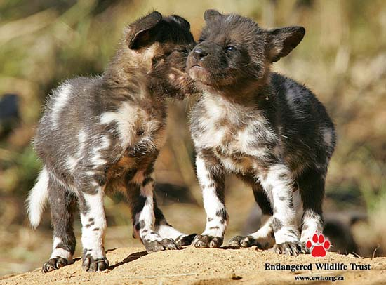 endangered wildlife trust - african wild dogs pups