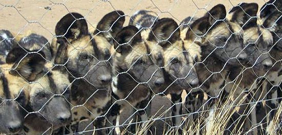 naankuse.com/ - african wild dog pack re-establishment