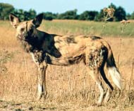 african wild dog