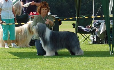 miller at midshires bearded collie club ch. show - august 2007