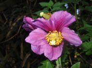 Meconopsis Hensol Violet