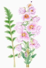 Meconopsis wilsonii subsp. orientalis