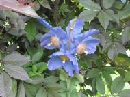Meconopsis Dalemain
