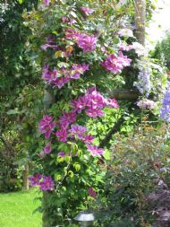 The Clematis arch