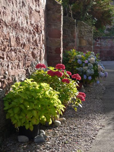 cromarty hydrangeas