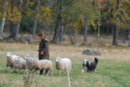 Carl Borgstrom competing in Swedish Beardie Herding Trials