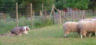 Herding Beardie