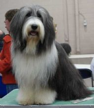 Bearded Collie Club of Scotland