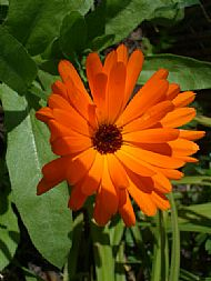 calendula officinalis herb