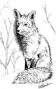 Red Fox In Winter Coat