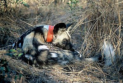 painted dog conservation - anti-snare collar