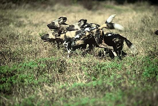 painted dog conservation - abangane hunting dogs