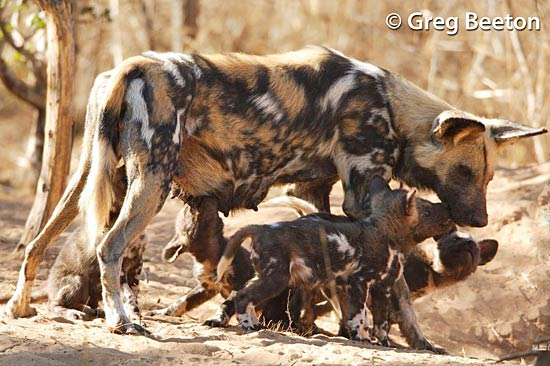 painted dog conservation - mother feeding pups (� greg beeton)
