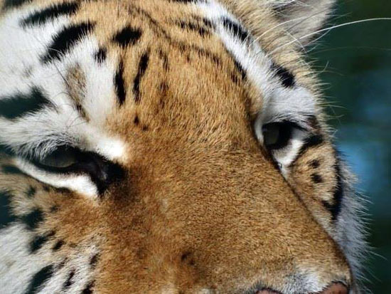 pdc uk - big cat sanctuary, thursday 20th to 23rd july
