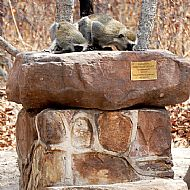 Vervet Monkeys drinking