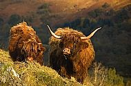 Two Highland Cows in Glencoe