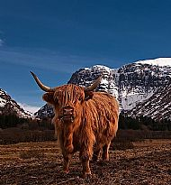 Highland Cow, Glencoe