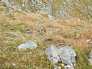 A Dotterel on Druim Shionnach, Glen Shiel.