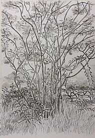 Foliage, Pen & Ink, M. Muir