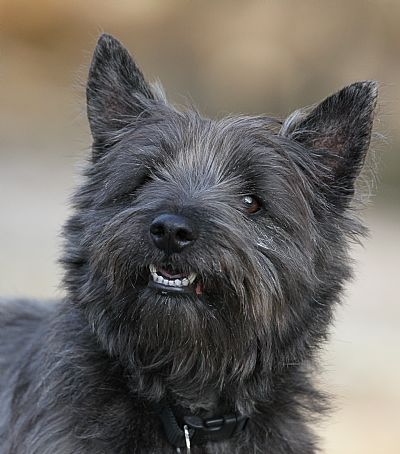 hamish our cairn terrier