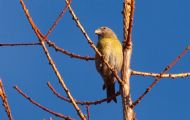female scottish crossbill at nearby culbin forest