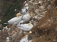 gannets taken at troup head