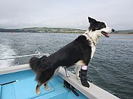 Dolphin boat dog on look out