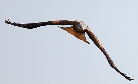 red kite flying towards camera at tollie red kite visitor centre