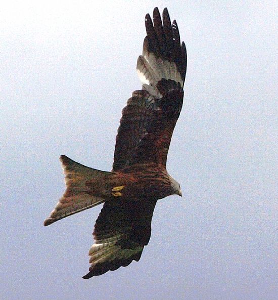 red kite photographed at tollie near dingwall