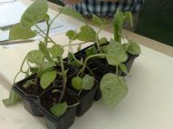 Cape gooseberry seedlings