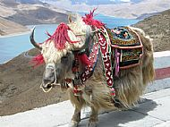 An embarrassed Yak