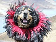 A Tibetan dog
