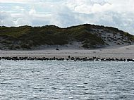 lots of seals