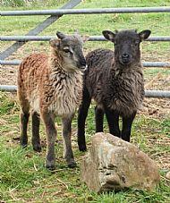 Tup lambs 2010