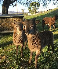 April Twins - Lamb Tups